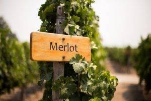 About Merlot Wine