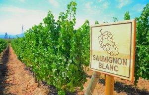 About Sauvignon Blanc Wine