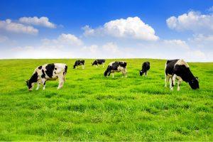derby_bluebell_dairy